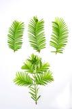 Redwood (Metasequoia glyptostroboides) liść obraz stock