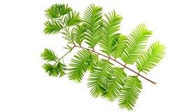 Redwood (Metasequoia glyptostroboides) liście obraz royalty free