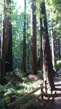 Redwood Muir Woods. Image taken of redwoods in San Francisco Royalty Free Stock Images