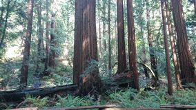 Redwood Muir Woods. Image taken of redwood in San Francisco Royalty Free Stock Photo
