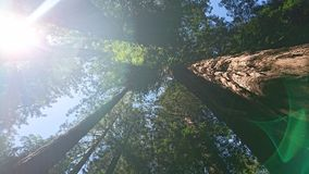 Redwood Muir Woods. Image taken of redwood in San Francisco stock photos