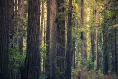 Redwood Mystery Forest Royalty Free Stock Photo