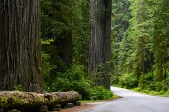 Redwood National Forest Royalty Free Stock Image