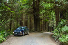Redwood National Park, California, USA - June 10, 2015: Jeep Cherokee on a country road in the forest Redwood Stock Image
