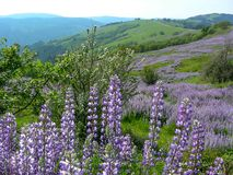 Redwood National Park Spring Lupine Bloom royalty free stock images