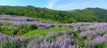 Redwood National Park Spring Lupine Bloom Panorama stock photography