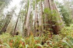 Redwood National and State Parks California CA USA Stock Photography