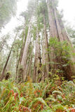 Redwood National and State Parks California CA USA Stock Image