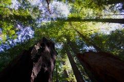 Redwood nieba Drzewny widok obraz stock