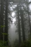 Redwood NP Fotografia Stock Libera da Diritti