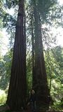 Redwood. Pair of Redwood Trees in Muir Woods Stock Image
