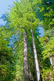 Redwood pair in the wilds Stock Image