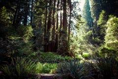 Redwood park narodowy w California, usa zdjęcia stock