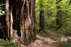 Forest Path Travel Around Large Old Growth Redwood Royalty Free Stock Photos
