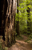 Redwood Forest Path Travels Around Old Growth Tree Royalty Free Stock Photos