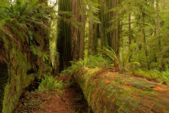 Redwood Path Royalty Free Stock Photography