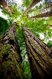 Redwood que olha acima Imagens de Stock Royalty Free