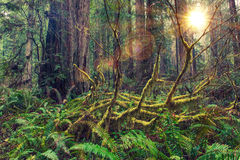 Redwood Rainforest Royalty Free Stock Image