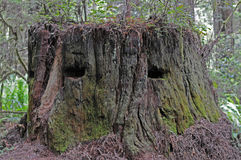 Redwood's stump. Old tree stump in Redwood forest shows face royalty free stock photo