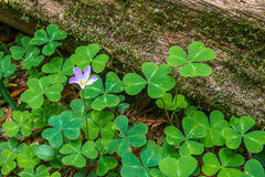 Redwood Sorrel. Flower On Long Stem Above Heart Shaped Leaves Royalty Free Stock Photos