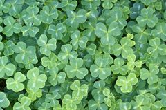 Redwood Sorrel (Oxalis oregana) Royalty Free Stock Image
