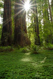 Redwood sorrel and redwood trunks with sunburst Royalty Free Stock Image