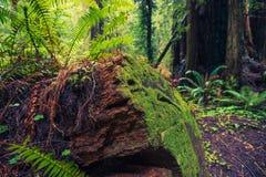 redwood spadać drzewo Zdjęcie Stock