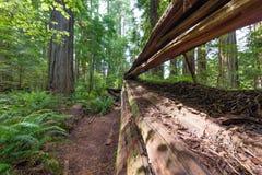 redwood spadać drzewo Fotografia Stock