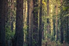Redwood tajemnicy las Zdjęcie Royalty Free