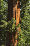 Redwood Tree. Giant redwood tree in Sequoia National Park, CA. Vertically framed shot Stock Photo