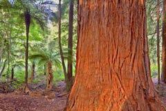 Redwood Tree Stock Images