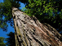 Redwood Tree Stock Image