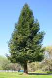 Redwood Tree. Lone redwood tree in a park over blue sky Royalty Free Stock Images