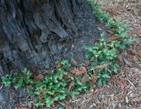 Redwood tree base growth Stock Photo