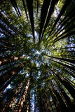 Redwood Tree Canopy in Northern California. Redwood trees thrive in a forest in Redwood National Park, California. This incredible area is home to the tallest Royalty Free Stock Images