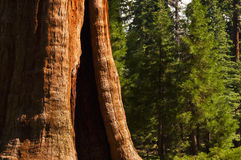 Redwood Tree in foreground of forest Royalty Free Stock Photos