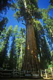 Redwood tree in forest, CA Stock Images