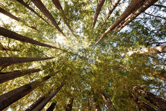 Redwood Tree Grove royalty free stock image