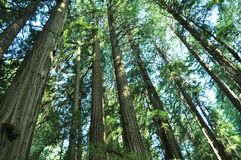 Redwood Tree Grove Royalty Free Stock Images