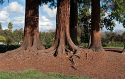 A redwood tree grove in a park Royalty Free Stock Photos