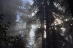 Redwood_tree_mist στοκ εικόνες