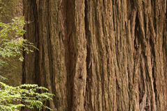 Redwood tree Royalty Free Stock Photography