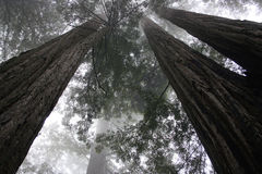 Redwood trees-1 Royalty Free Stock Image