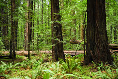 Redwood trees. California redwood trees with green ferns stock photography