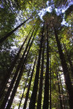 Redwood Trees. Towering towards the sky royalty free stock photos