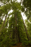 Redwood Trees Royalty Free Stock Image