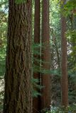 Redwood trees Royalty Free Stock Photos