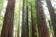 Redwood trees Royalty Free Stock Photo