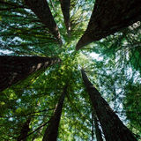 Redwood Trees. Redwood tree stand looking up toward the sky Stock Photography