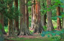 Redwood trees in the british woodlands Royalty Free Stock Image